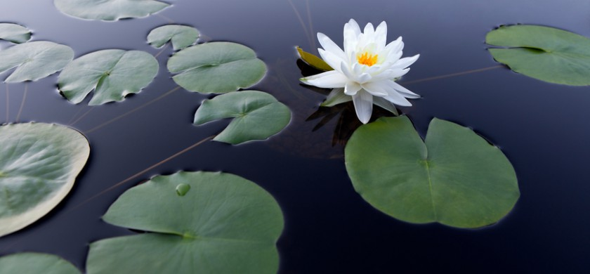 Tranquil scene with a white water lily floating on smooth water